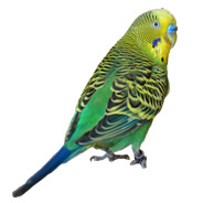 Our New Budgie Solution